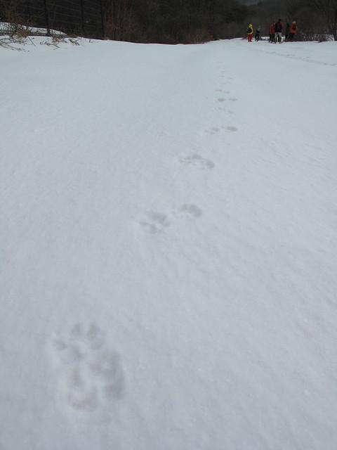 タヌキの足跡は指が5本で全体が丸っこい.