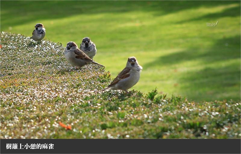樹籬上小憩的麻雀