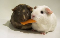 animal, guinea pig, rodent, pet, mouse, hamster, whiskers, gerbil,
