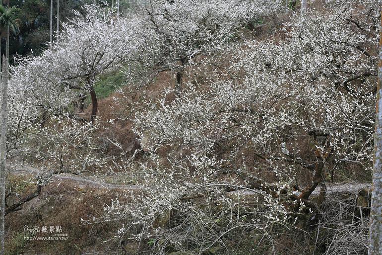 台南私藏景點--梅嶺梅花季  2013 (23)