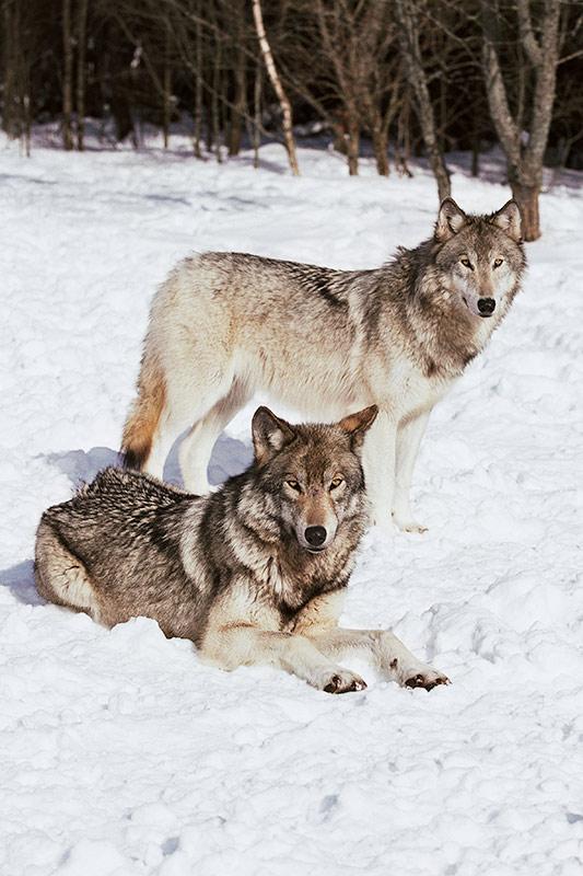 Wildlife in British Columbia, Canada: Gray Wolf (Timber Wolf)