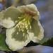 Ranunculaceae - Photo (c) Miltos Gikas, algunos derechos reservados (CC BY)