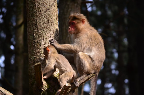 Monkeys in Fansipan Mountain