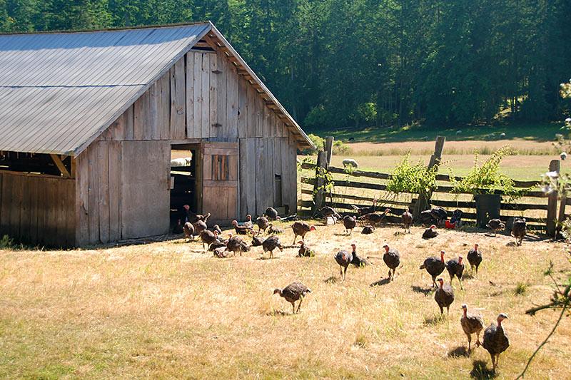 Friendly Turkeys at Ruckle Farm in Ruckle Park, Saltspring Island, Gulf Islands National Park, British Columbia, Canada