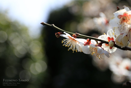20140226-IMG_6782(白梅)