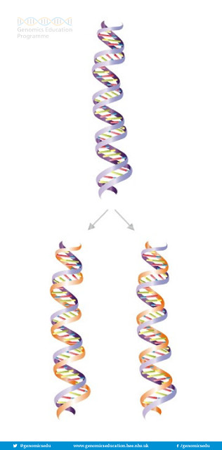 Semi conservative replication of DNA