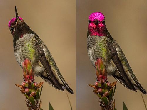 Anna's Hummingbird Iridescence