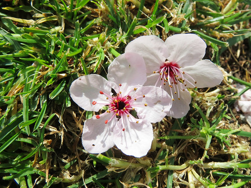 Pink Sakura Flowers on the Grass Photo by Sherrie Thai of ShaireProductions.com