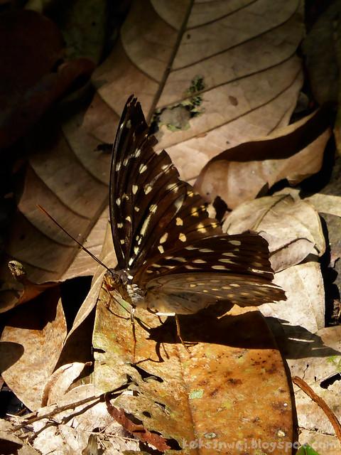 37 Bukit Serumbu Female Lexias pardalis borneensis (Common Archduke)