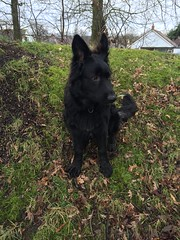 german shepherd dog(0.0), bohemian shepherd(0.0), dog breed(1.0), animal(1.0), dog(1.0), dutch shepherd dog(1.0), pet(1.0), tervuren(1.0), mudi(1.0), carnivoran(1.0),
