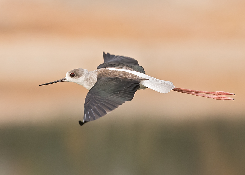 Black-winged Stilt Gambia