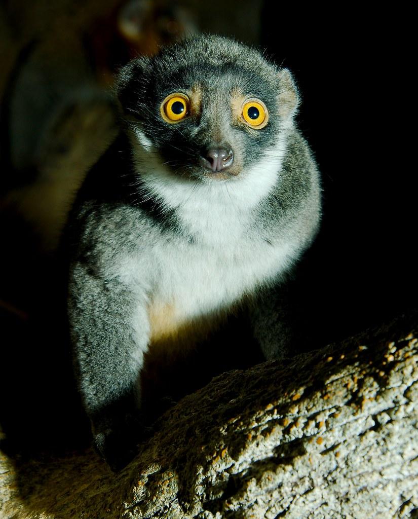 Mongoose Lemur (Eulemur mongoz)_4