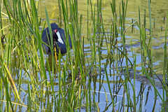 Red-knobbed coot, Stark-Condé Wines