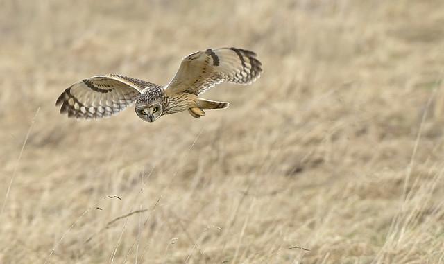 Wendy Salisbury - Short Eared Owl