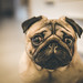 Puppy Pug Eyes by Buratin
