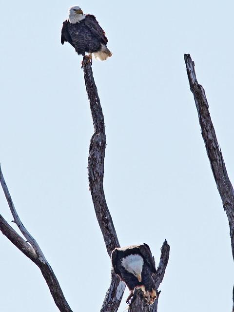 Bald Eagle male arrives 20150128