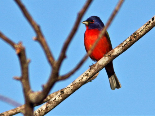 Painted Bunting 2-20150201