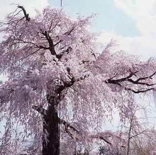 The Grand Sakura 祝大家新年進步,心想事成