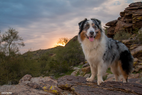 sunrise desert aussie australianshepherd