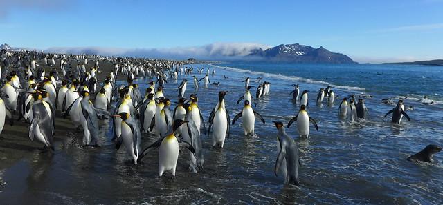 King Penguins, Salisbury Plain, South Georgia