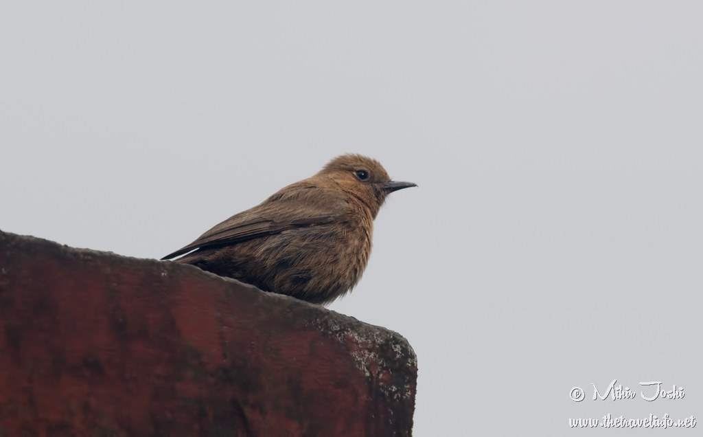 Brown Rock Chat [Colinegro Indio]