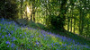 Bluebells at sunset
