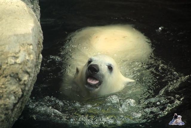 Eisbär Lili im Zoo am Meer Bremerhaven 14.05.2016 Teil 2 051