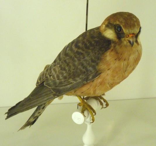 Falco vespertinus 27146121045_ffa7d84b07_o