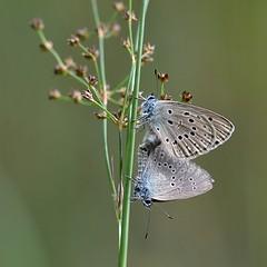 Gentiaanblauwtjes