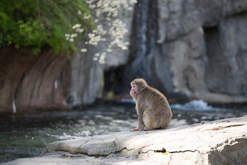 Snow Monkey in Central Park Zoo