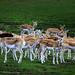 Deers !!!