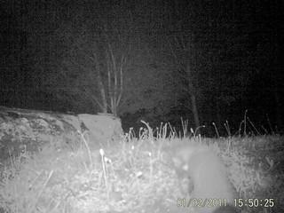 Trailcam Pine Marten