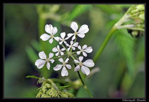 Cerfeuil des bois (Anthriscus silvestris)