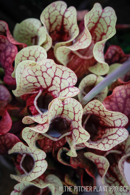 Sarracenia purpurea ssp.  venosa - Tattnal Co, GA