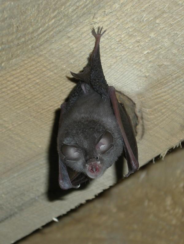 Murciélago de Herradura colgado de una viga. Autor, GaMip