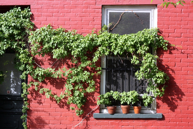 Vines on a red wall - Montreal