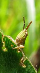 5703 grasshopper nymph