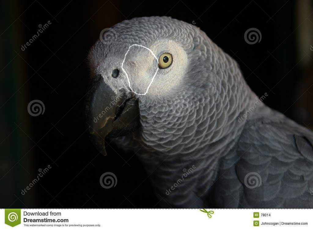 African Grey Sexing 9
