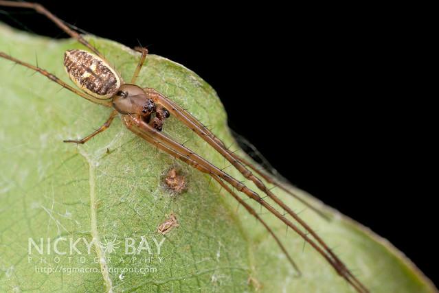 Big-Jawed Spider (Tetragnathidae) - DSC_7192