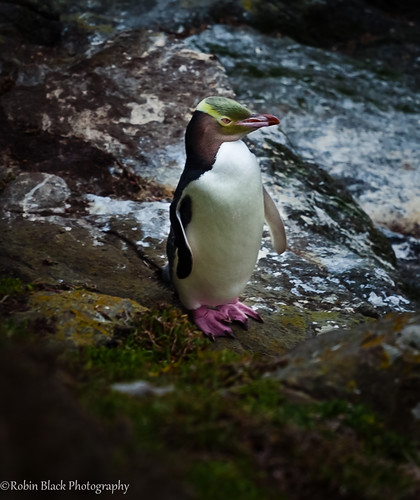 Yellow Eyed Penguin (Moeraki, New Zealand) by Robin Black Photography