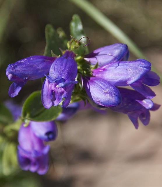Blue Penstemon