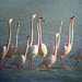 Greater Flamingo  (Tom Mabbett)