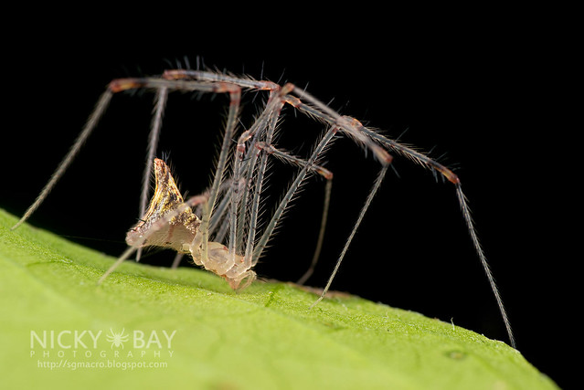 Comb-Footed Spider (Theridiidae) - DSC_3030