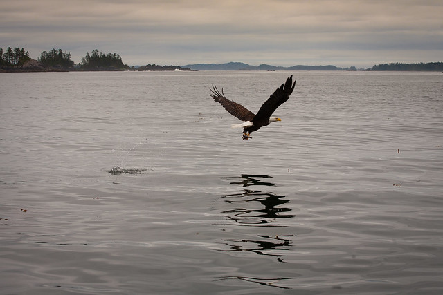 Bald Eagle of Sitka