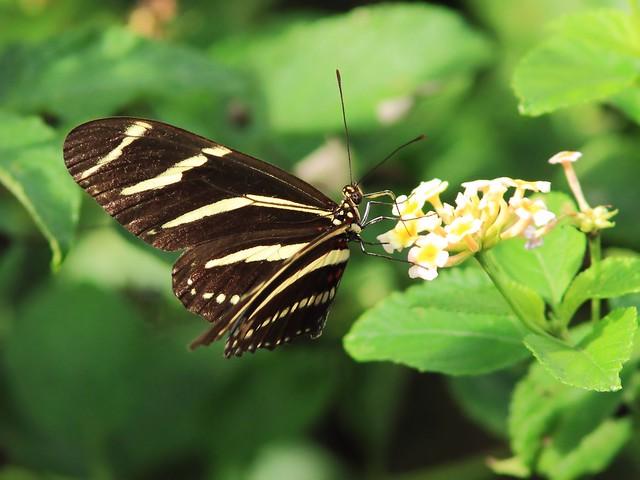 Zebra heliconian 20130917