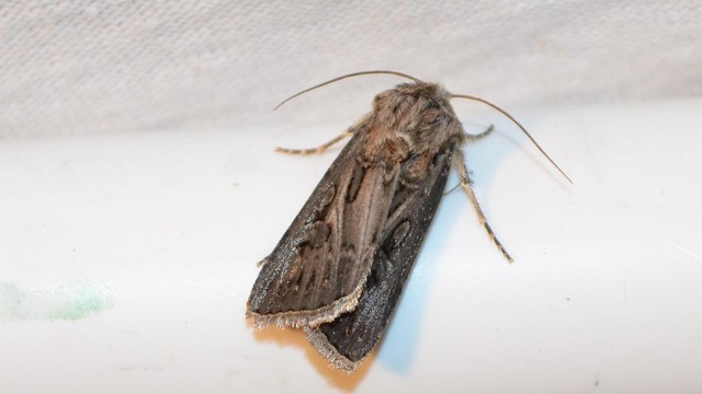 Header of Agrotis gladiaria
