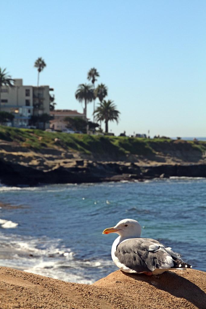 Suntanning seagull