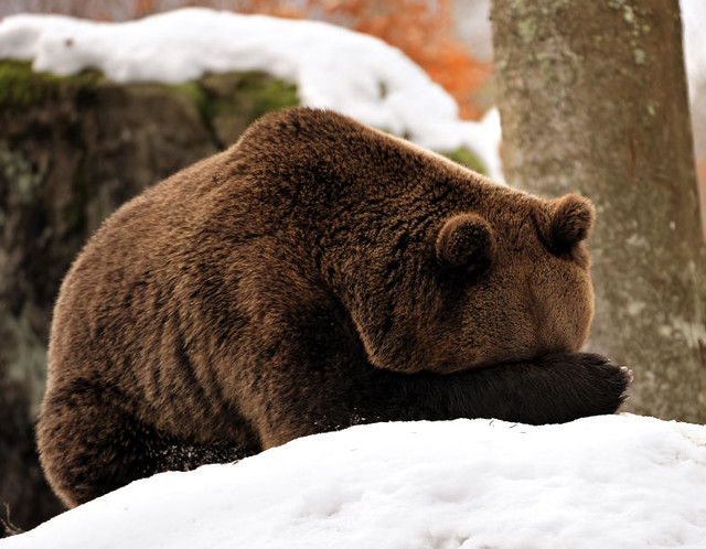 A bear hides its face in its paws