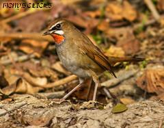 nightingale(0.0), robin(0.0), european robin(0.0), finch(0.0), brambling(0.0), blackbird(0.0), lark(0.0), wren(1.0), animal(1.0), sparrow(1.0), ortolan bunting(1.0), perching bird(1.0), fauna(1.0), emberizidae(1.0), beak(1.0), bird(1.0), wildlife(1.0),