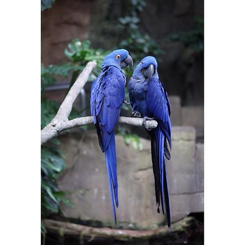 #Birds #latergram #nofilter #canon5dmarkII #moodygardens #blue